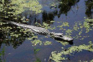 Phát hiện đàn cá sấu lôi xác người xuống hồ ở Florida