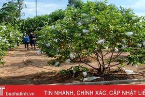 Chủ vườn mẫu Hà Tĩnh chia sẻ kinh nghiệm giữ màu xanh cây trồng khi nắng hạn