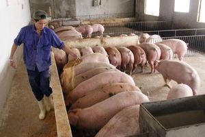 Giải pháp ngăn lây lan dịch tả lợn