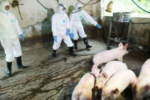 Ít nhất 2 năm nữa mới có vaccine chống dịch tả lợn châu Phi