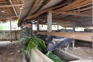 Tuyên Quang: Xây nhà lầu nhờ nuôi trâu, chỉ 1 xã mà có 1.000 con trâu lớn, nhỏ