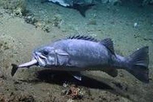 Mải xâu xé thức ăn, cá mập chó bị cá vược nuốt chửng trong nháy mắt