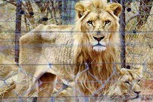 Nghẹn lòng cảnh động vật bị bỏ đói trong sở thú, phải cầu xin đồ ăn