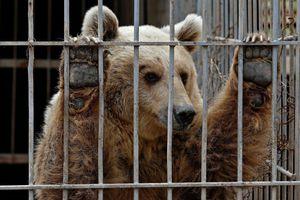 Phát điên, bệnh tật và ám ảnh của động vật bị nhốt trong sở thú