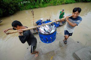 Giá cá tra giảm sâu, người nuôi lỗ nặng