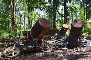 Vào rừng chặt cây bị gỗ đè tử vong