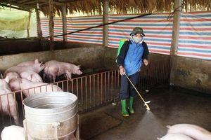 Yên Bái: Tiêu hủy gần 5.000 con lợn nhiễm dịch tả