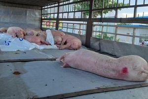 Hai tháng, 12.000 con lợn nhiễm dịch tả lợn châu Phi ở Quảng Nam bị tiêu hủy