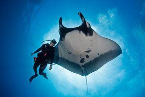 Cá đuối khổng lồ bất ngờ áp sát, xin thợ lặn cứu mạng
