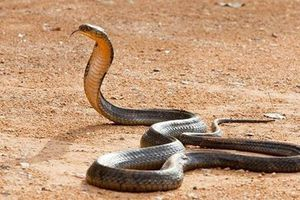 Cãi nhau với trai, cô gái trút giận lên rắn hổ mang cực dị