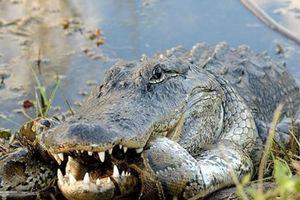 Trăn Miến Điện và cá sấu khổng lồ giao chiến dữ dội tại đầm lầy