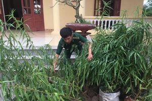 Thái Bình: Phát hiện, tiêu hủy 30 cây cần sa người dân trồng trái phép