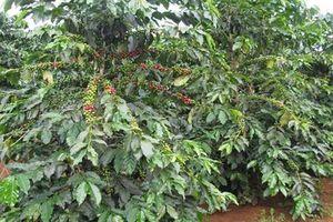 Cà phê và hạt điều giảm số lượng xuất khẩu trong 6 tháng đầu năm 2019