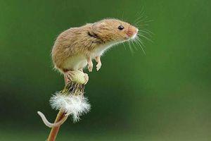 Những bức ảnh chứng minh chuột đồng là nghệ sỹ nhào lộn tài ba (P2)