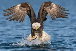 Ảnh động vật: Đại bàng đầu trọc bắt cá, xem rùa đẻ trứng...