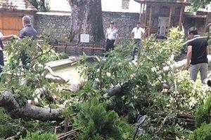 19 người bị thương vì cành cây 500 tuổi rơi trúng