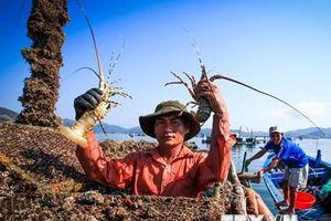 Cận cảnh nghề nuôi tôm hùm của ngư dân tỉnh Phú Yên