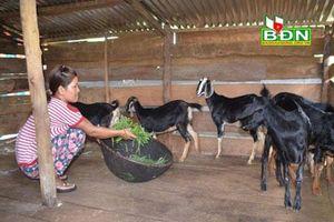 Đắk Nông: Chăn nuôi dê tạo nguồn thu ổn định