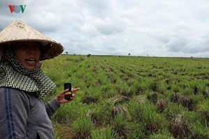 Đắk Lắk: Trồng sả Java, cách làm giàu ở vùng đất khó Ea Sup
