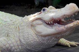 Cá sấu bạch tạng cực hiếm, không phải ai cũng thấy dù chỉ 1 lần