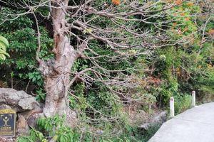 Ngắm vẻ đẹp của loài cây được công nhận là 'cây di sản' trên xứ Cù Lao
