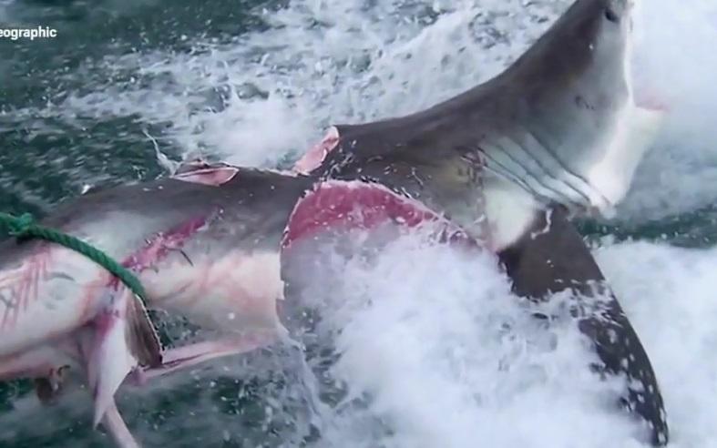 Kinh hoàng cá mập ăn thịt cá mập khác ở vùng biển Australia