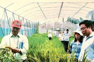 Giống lúa chủ lực cho ĐBSCL: Vang danh OM xuất khẩu