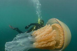 Thợ lặn kinh ngạc trước sứa khổng lồ to hơn người trưởng thành