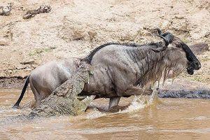 Đang uống nước, đàn linh dương đầu bò bị cá sấu 'đột kích'