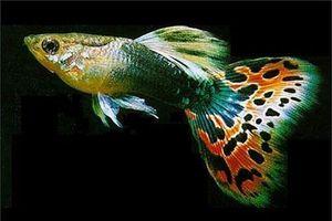 Loài cá đẹp long lanh nhưng nguy hiểm nhất thế giới
