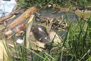 Quảng Nam: Thu gom, tiêu hủy xác lợn chết dưới kênh