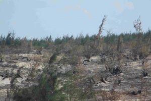 Bình Định: Cần xác định nguyên nhân rừng phi lao bị cháy trên khu vực Nhà máy Phong điện Phương Mai 1