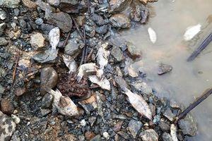 Quảng Nam: Cá chết xếp lớp, nổi trắng mặt hồ thủy điện sông Tranh 2
