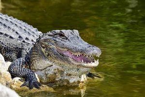 Cảnh sát Mỹ cảnh báo 'cá sấu ngáo đá' do ma túy xả vào bồn cầu