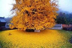 Chiêm ngưỡng cây bạch quả 1.400 tuổi 'khoác áo' vàng rực rỡ