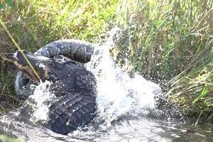 Clip: Trận chiến quyết liệt giữa cá sấu và trăn Miến Điện khổng lồ