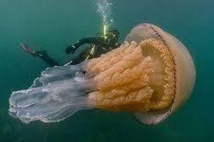 Kinh ngạc thợ lặn chạm trán loài sứa khổng lồ