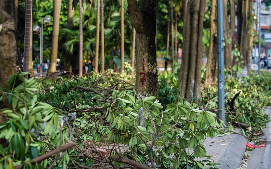 Hà Nội: Chuyển 100 cây hoa sữa từ hồ Tây lên bãi rác Nam Sơn để 'khử' mùi rác, 'giải thoát' mùi hoa cho người dân