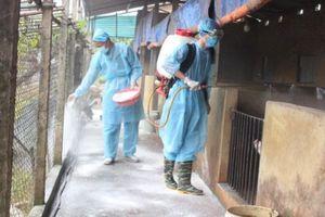 Hà Nội: Cứ 3 hộ chăn nuôi lợn thì có 1 hộ mắc dịch tả châu Phi