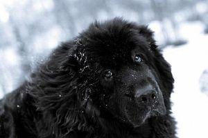 Giống chó của Stalin, đặc điểm tính cách và ngoại hình