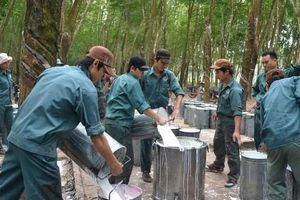 Thanh lý cây cao su sụt giảm, Cao su Đồng Phú báo lãi 6 tháng giảm 37%