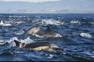 Choáng ngợp cảnh hàng trăm con cá heo 'quẩy' theo du thuyền