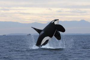 Những phát hiện mới về hành vi cá voi sát thủ 'moi gan cá mập trắng'