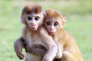 Rớt nước mắt cảnh hai khỉ con mồ côi ôm chặt nhau không rời
