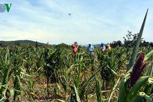Sâu keo 'gặm' gần 15.000 ha ngô, mức độ thiệt hại còn gia tăng