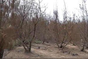 Quảng Ngãi: Nắng hạn kéo dài, rừng dương phòng hộ chết khô