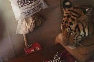Vườn quốc gia bị ngập, hổ vào nhà dân leo lên giường nằm ngủ