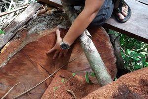 Đắk Lắk: Rừng Cư Yang bị 'lâm tặc' phá tan hoang, cán bộ lâm trường.. không biết (?)