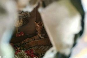 Hổ mò vào nhà dân chiếm giường, ngủ ngon lành sau khi mệt vì 'chạy lũ'