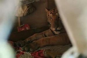 Hoảng hồn phát hiện hổ hoang nằm chễm chệ trong phòng ngủ